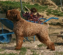 Il_Granaio_dei_Malatesta_Big_Boy_Lagotto_Romagnolo (40).JPG